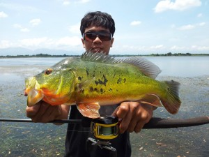 Peacock-Bass-Split-Tail-Idy
