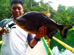 singaporean-pacu-on-ul