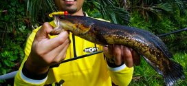Tangkapan ikan bujuk oleh Zafri Angler