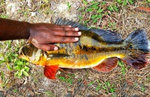 peacock-bass-ikan-raja-kanicen-nix-grenti-strike