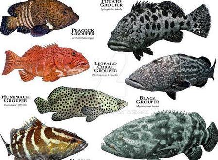 Mari Kenali Ikan Kerapu Groupers Ultralight Fishing Tips And Tricks For Ultralight Anglers