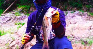 ikan sebarau royal belum dengan rod sailang kanicen nix
