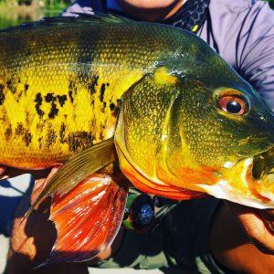 fishing trip hunting peacock bass using grenti strike kanicen nix