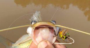 ikan baung menggunakan sailang rod ultralight dengan gewang diver