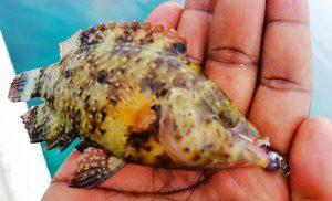 kanicen-nix-grenti-strike-soft-bait-brudu-floral-wrasse-ikan-karang