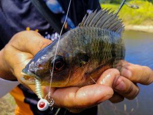 memancing-ikan-talapia-tilapia-menggunakan-softplastik-grenti-strike-brudu