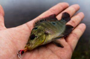 memancing-ikan-talapia-tilapia-menggunakan-softplastik-grenti-strike-brudu-oren-zafri
