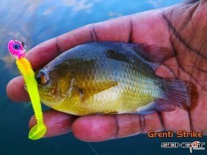 Ikan Patung - Malayan Leaf Fish