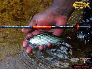 ikan-tengas-dengan-grenti-strike-trout-spoon
