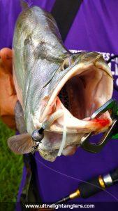 ikan-belida-clown-fish-with-ultralight-kanicen-nix-ultralight-rod-setup-soft-plastic-komander