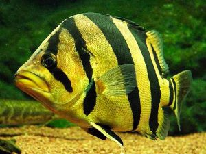 Siamese Tiger Perch