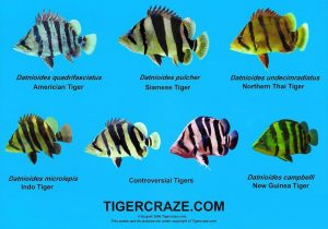 Tiger-fish-list