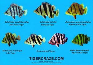Tiger-fish-list