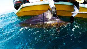 kanicen-nix-sail-fish-ikan-layaran-catch-and-release