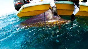 kanicen-nix-sail-fish-ikan-layaran-catch-and-release-cnr