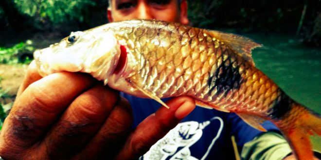 ikan-sebarau-dua-jalus-hampala-double-stripe-kanicen-nix-sailang-red-eye