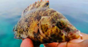 kanicen-nix-grenti-strike-softbait-brudu-floral-wrasse-ikan-karang