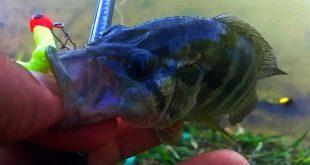 memancing ikan kerapu lombong jaguar cichlid menggunakan softbait grenti strike kanicen nix