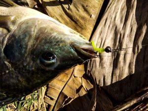 memancing-ikan-talapia-tilapia-menggunakan-softplastik-grenti-strike-brudu-amzar-wat