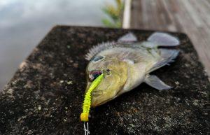 memancing-ikan-talapia-tilapia-menggunakan-softplastik-grenti-strike-brudu-hijau-zafri